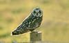 Short-eared Owl 13