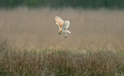 Barn Owl 2 Merseyside