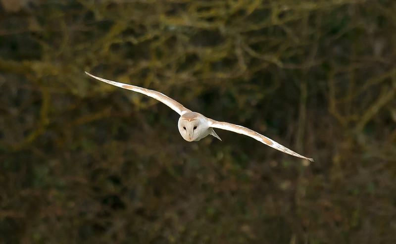 Barn Owl 9 Cheshire