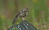 Little Owl 5