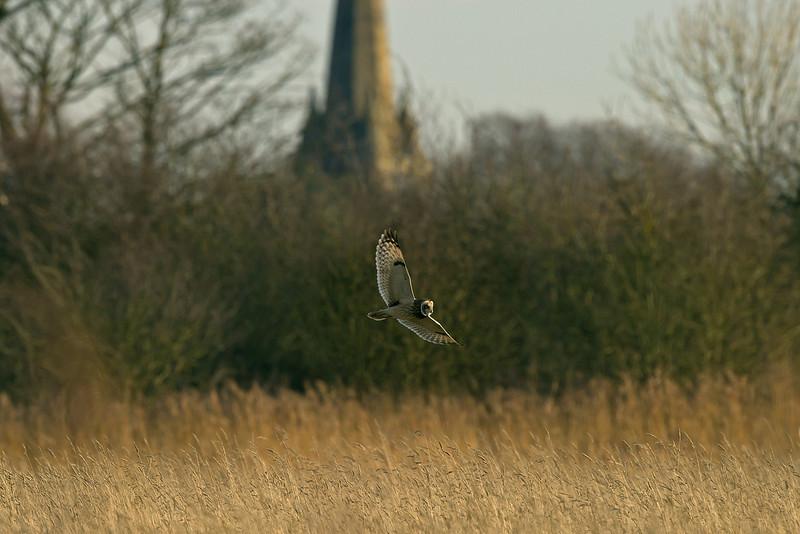 Short-eared Owl 1 Merseyside