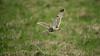 Short-eared Owl 8