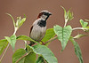 House Sparrow 14