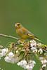 Greenfinch 5
