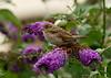 House Sparrow 16 juv