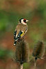 Goldfinch 9