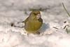 Greenfinch 3