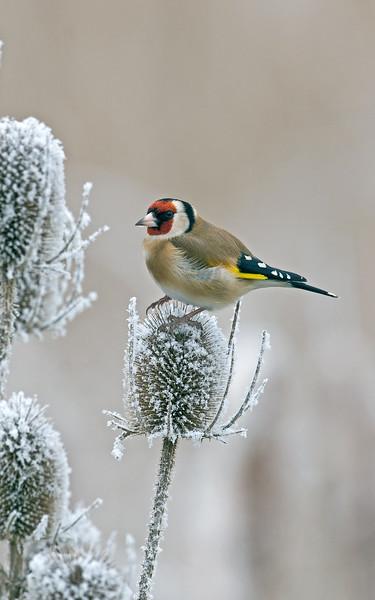 Goldfinch 12