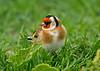 Goldfinch 11