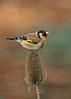 Goldfinch 10
