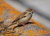 House Sparrow 10