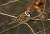 Tree Sparrow 3