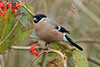 Bullfinch 5 female
