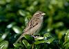 House Sparrow 11 female
