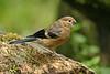 Bullfinch 4 juv