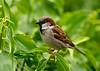 House Sparrow 17