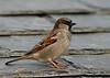 House Sparrow 8