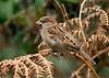 House Sparrow 9