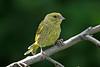 Greenfinch 6 juv