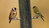 Goldfinch with Siskin