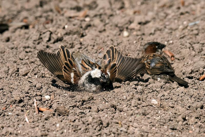 House Sparrow dust-bathing 1