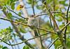 Tree Sparrow 7 juv