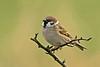 Tree Sparrow 1