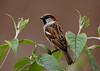 House Sparrow 15