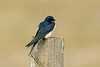 Barn Swallow 6