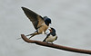 Barn Swallow 7