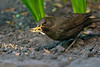 Blackbird female with mealworms