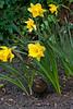 Blackbird female in daffodils