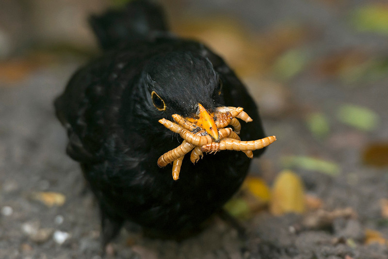 Blackbird male with mealworms 4
