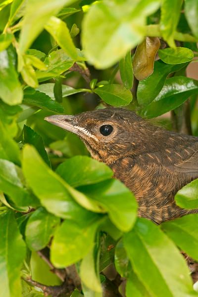 Blackbird juv 1