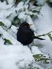 Blackbird male 1 Merseyside