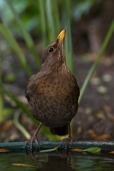 Blackbird female drinking 2