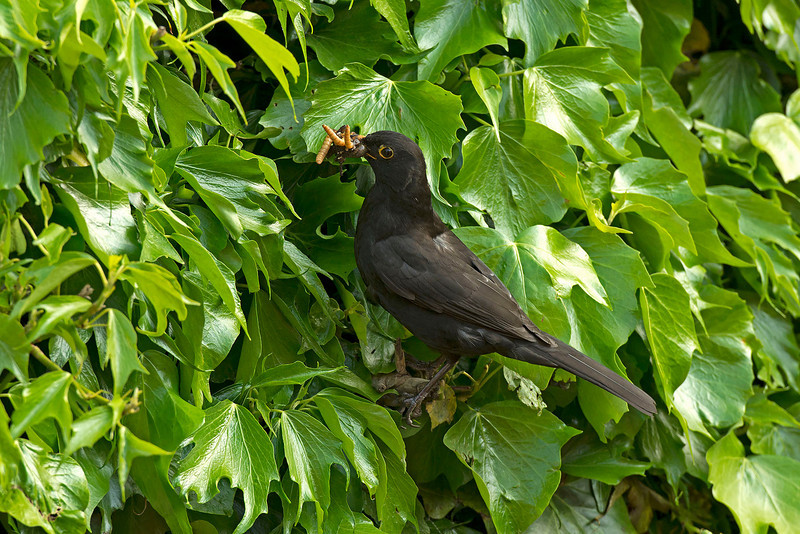 Blackbird male with food at nest in ivy