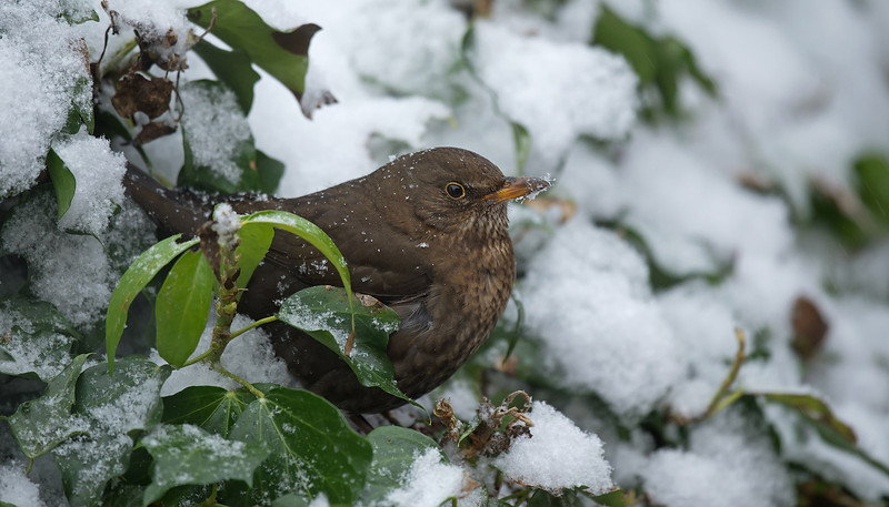 Blackbird female 2 Merseyside