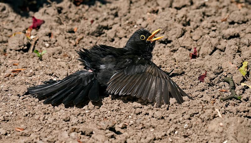 Blackbird sunning