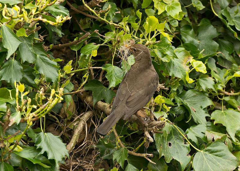Blackbird at nest entrance