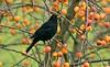 Blackbird male in crab apple tree