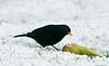 Blackbird male Dec 2020