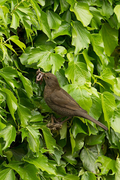 Blackbird female with food at nest in ivy