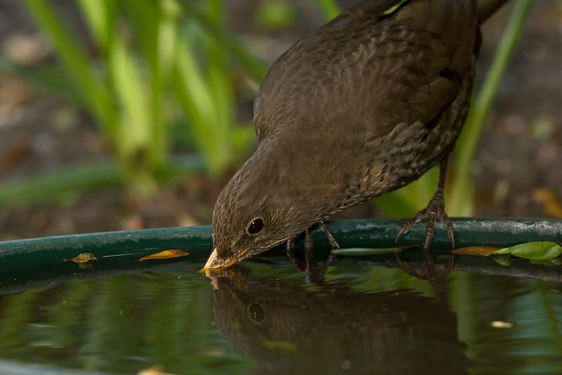 Blackbird female drinking