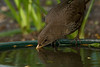 Blackbird female drinking