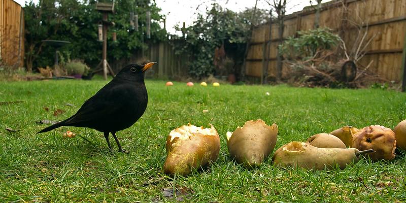 Blackbird 2015