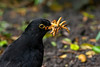 Blackbird male with mealworms 2