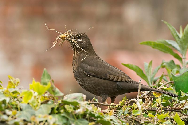 Blackbird female with nest material