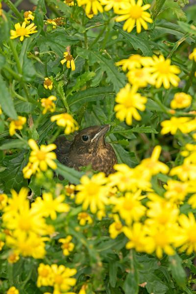 Blackbird juv 2