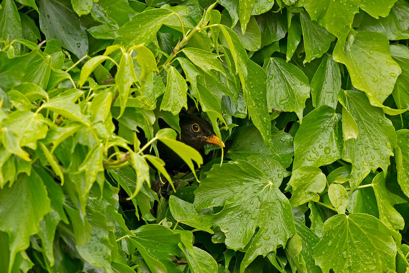 Blackbird male leaving nest in ivy